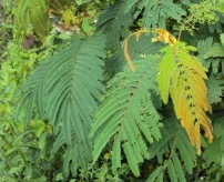 Albizia_chinensis_leaves